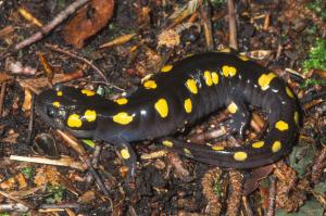 The spotted salamander (Ambystoma maculatum) is one of the species I study. I am interested in mate choice in this species and how that maintains diverse lineages throughout the species' range.